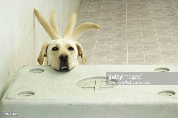 yellow lab resting head on crate wagging tail - schudden stockfoto's en -beelden