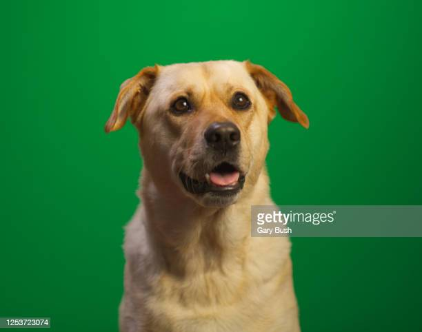 yellow labrador against green screen (chroma key) - calabasas stock pictures, royalty-free photos & images