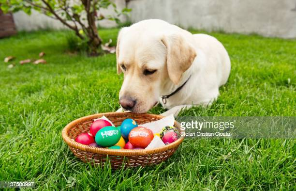 yellow labrador and easter egs basket - dog easter stock pictures, royalty-free photos & images