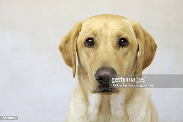 Yellow Labrador, close-up