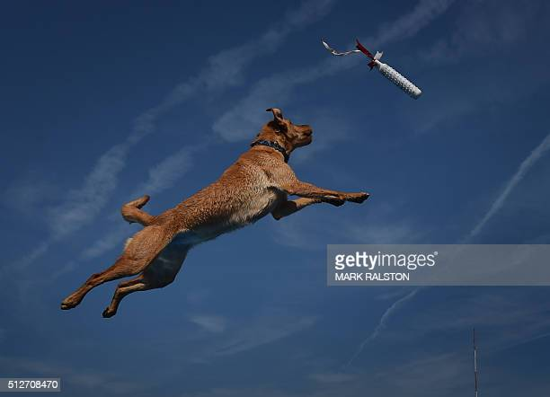 Yellow labrador 'Echo' leaps into the water to record the distance of his jump during the Dock Dogs West Coast Challenge in Bakersfield California on...