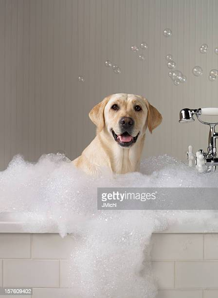 Yellow Labrador getting a bath with bubbles in background.