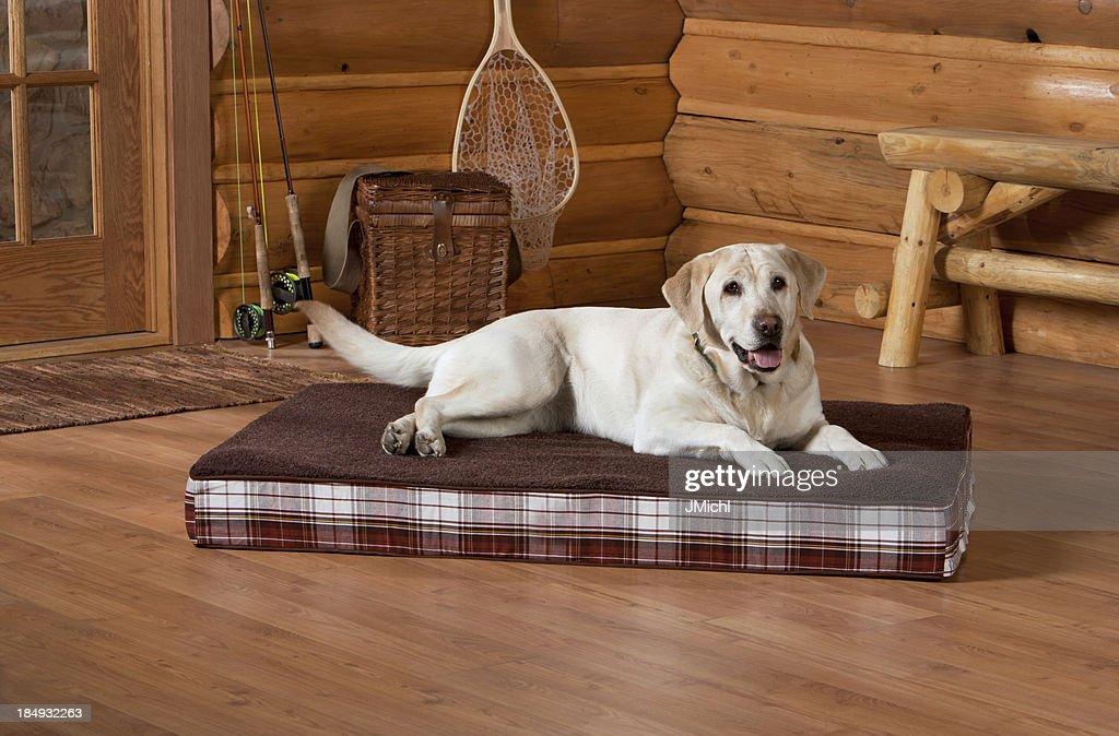Yellow Labrador : Stock Photo