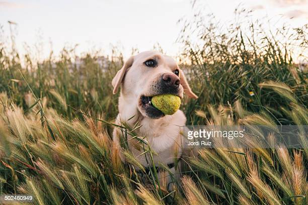 Yellow labrador playing with a tennis ball