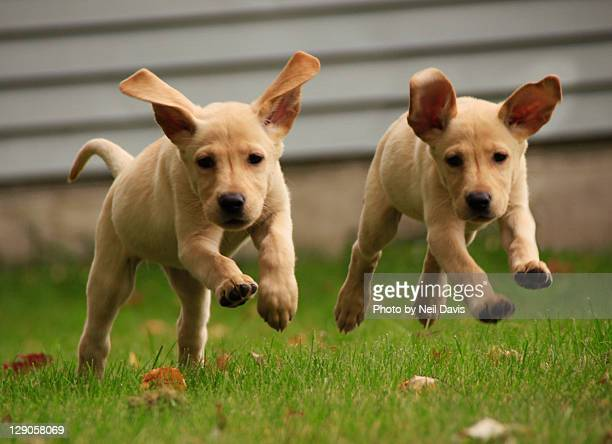 yellow labrador puppies running - two animals stock pictures, royalty-free photos & images