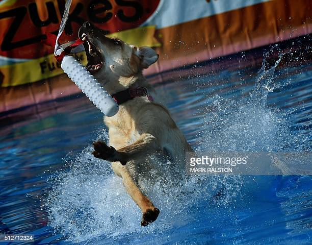 Yellow Labrador Retriever 'Bones' lands in the water after leaping from a dock during the Dock Dogs West Coast Challenge in Bakersfield California on...