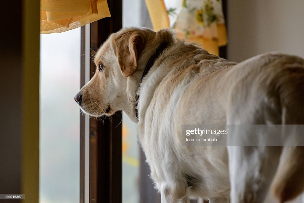 Yellow Labrador Retriever Dog Looking Out The Front Door Waiting ...