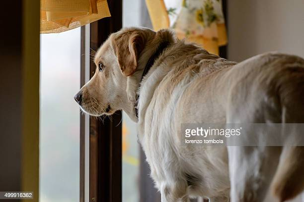 Yellow Labrador Retriever Dog Looking Out The Front Door, Waiting For His Owner To Return.