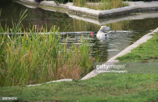 yellow labrador retriever drops the ball and looks away in a pond in valencia spain - highlywood fotografías e imágenes de stock