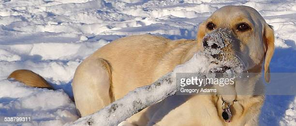 A Yellow Labrador Retriever in the Snow