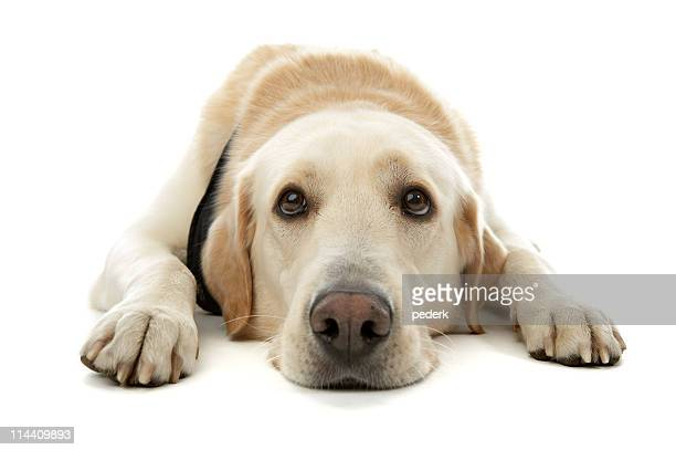 A yellow Labrador retriever laying down
