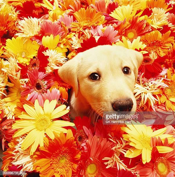 Yellow Labrador retriever puppy amidst gerbera