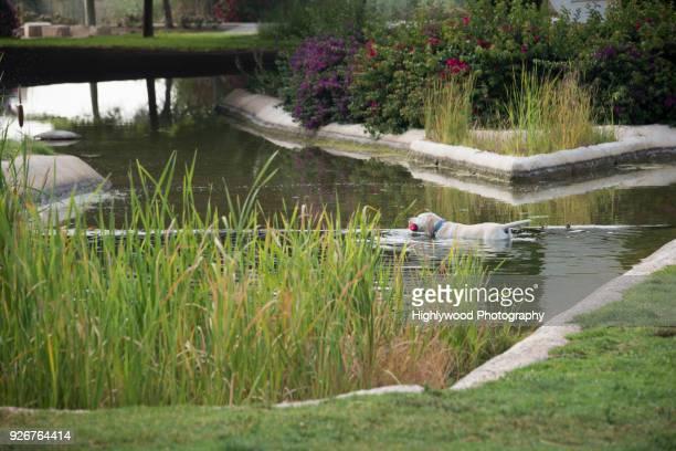 yellow labrador retriever swims with the ball in valencia spain - highlywood fotografías e imágenes de stock