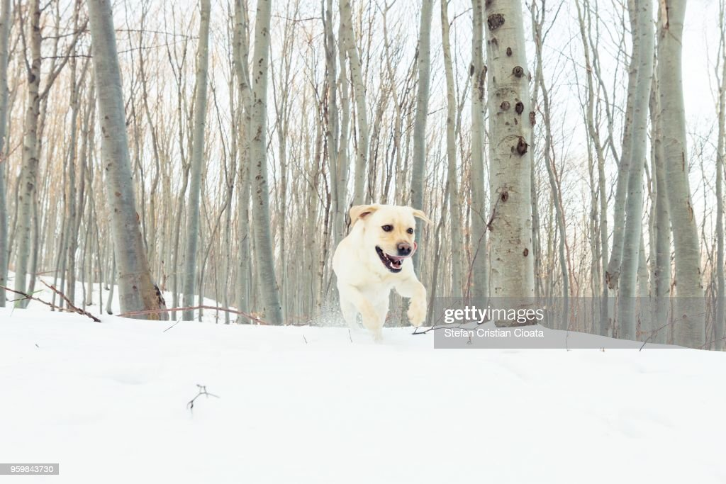 Yellow labrador running in snow at winter in a forest near Cluj-Napoca, Romania : Stock-Foto