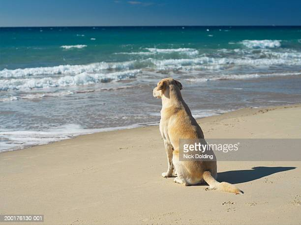 Yellow labrador sitting on beach, rear view