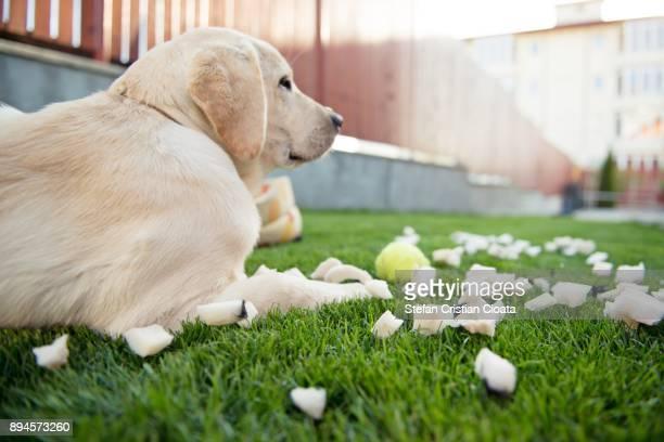Yellow Labrador sitting on grass