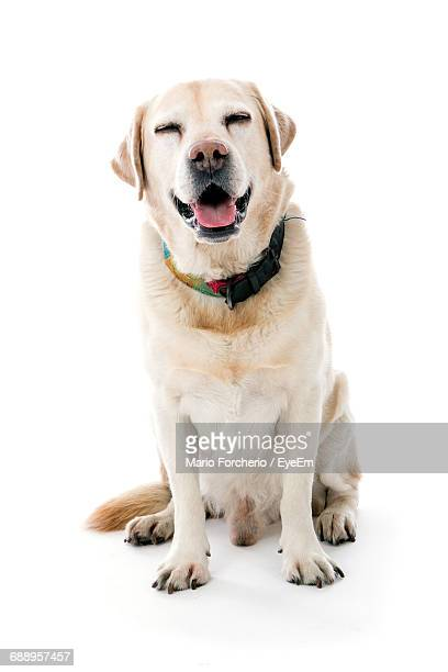 Yellow Labrador Sticking Out Tongue Against White Background