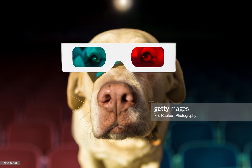 Yellow Labrador wearing 3-D glasses at theater : Stock Photo