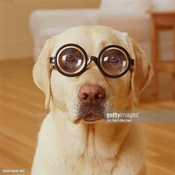 yellow labrador wearing thick glasses, portrait - myopia stock photos and pictures