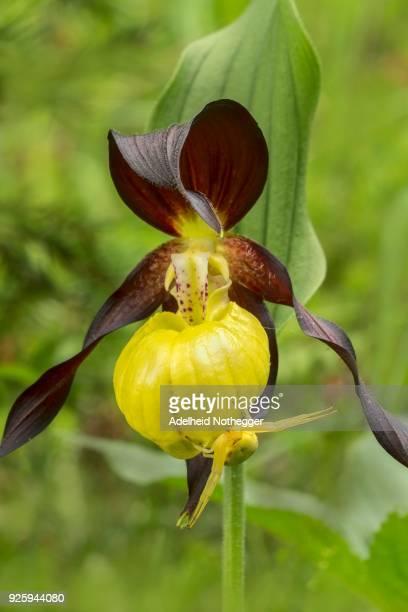 Yellow ladys slipper orchid (Cypripedium calceolus) and variable crab spider (Misumena vatia), Styria, Austria