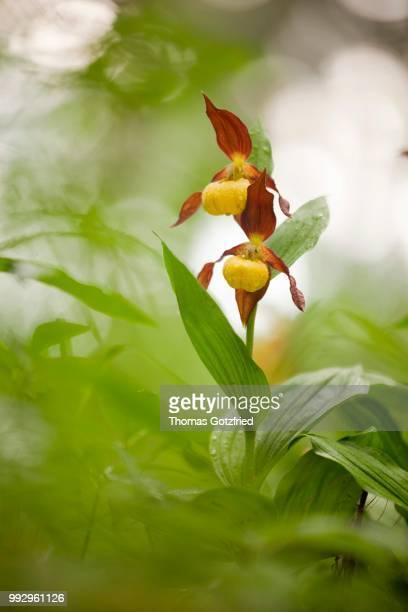 Yellow Lady's Slipper Orchid (Cypripedium calceolus), flowering, Germany