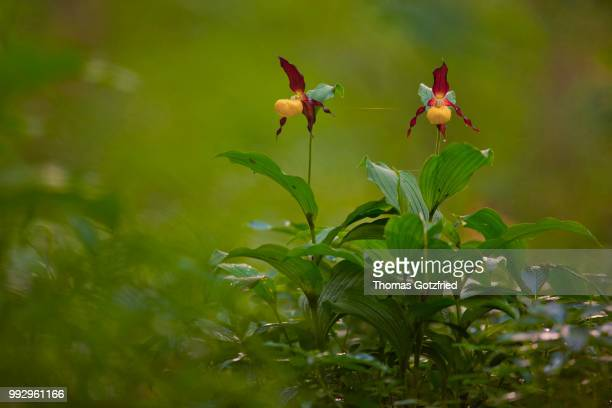 Yellow Lady's Slipper Orchids (Cypripedium calceolus), flowering group, Germany