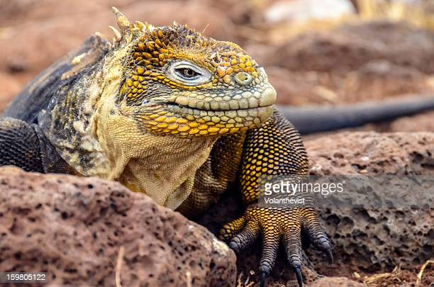 yellow land iguana in north seymour island - land iguana stock photos and pictures