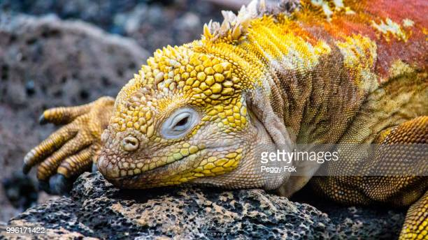 yellow land iguana - land iguana stock photos and pictures