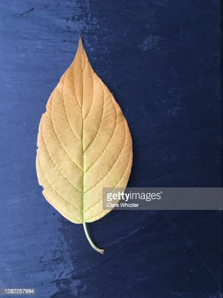 yellow leaf on wet slate portrait - royal blue stock pictures, royalty-free photos & images