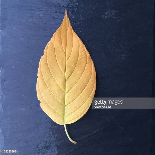yellow leaf on wet slate square - royal blue stock pictures, royalty-free photos & images