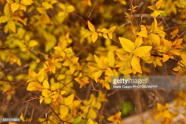 Yellow leaves blooming