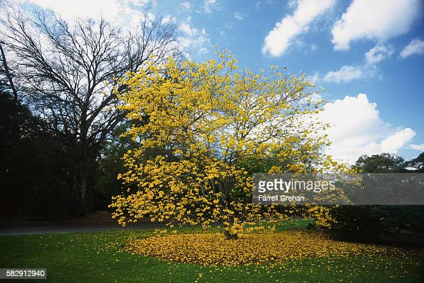 Yellow Leaves of a Trumpet Tree