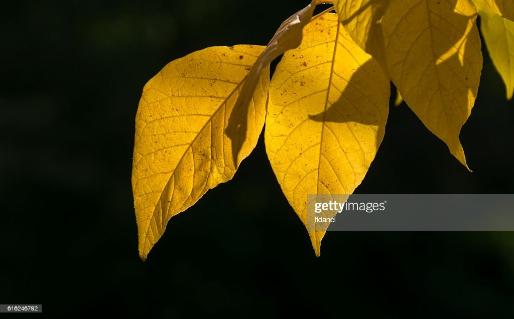 yellow leaves : Stock Photo