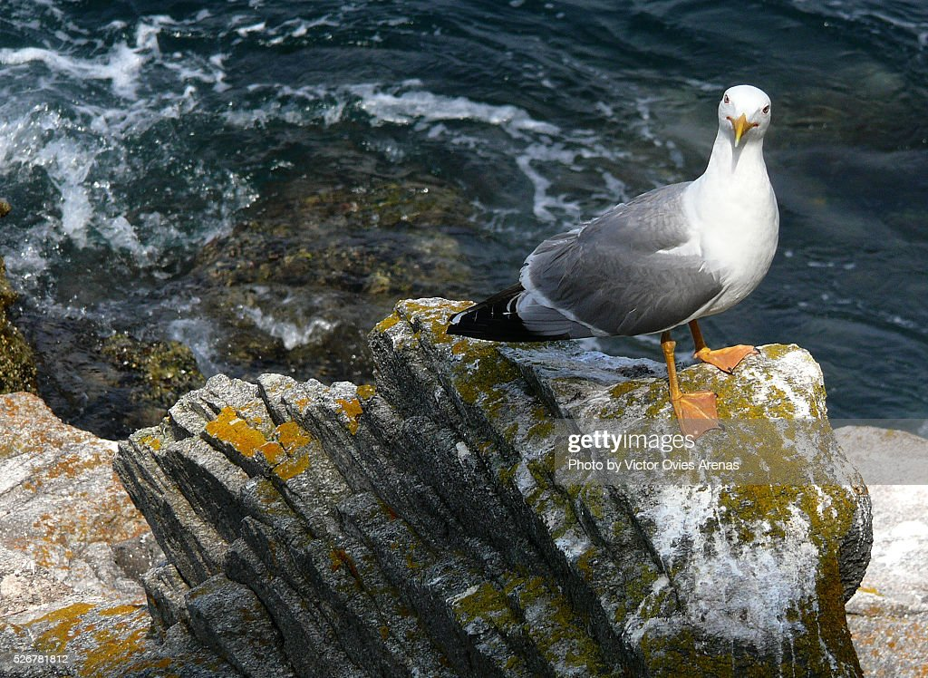 Yellow Legged Gull (Cies Islands Sea Gull) : Foto de stock