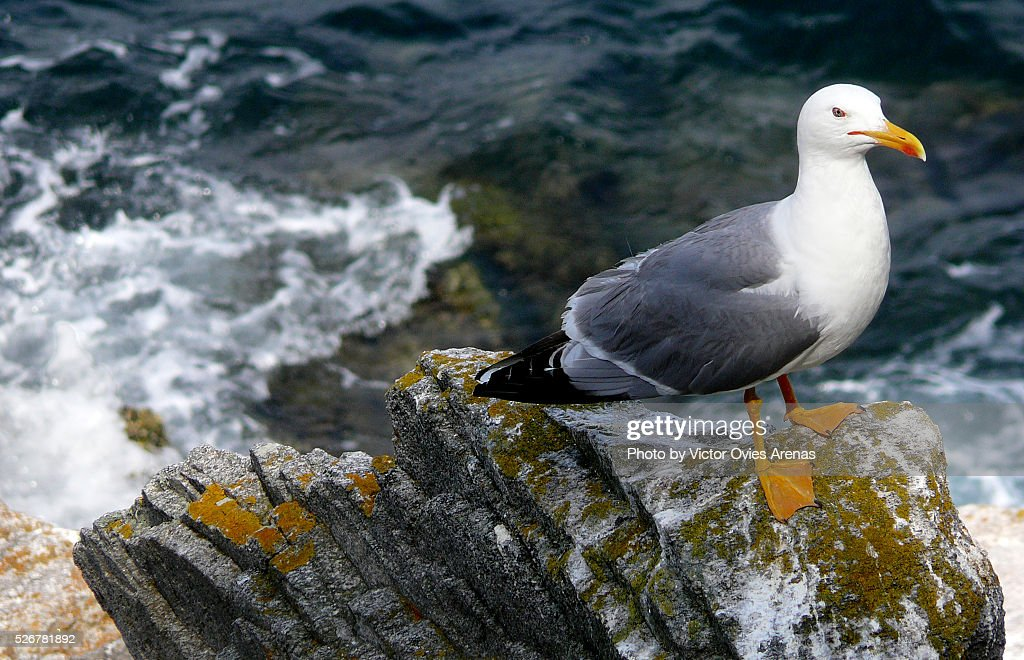 Yellow Legged Gull (Cies Islands Sea Gull) : Foto de stock