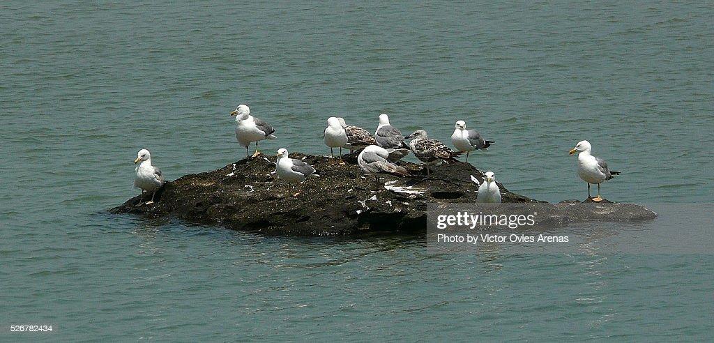 Yellow Legged Gulls on a little Island : Foto de stock