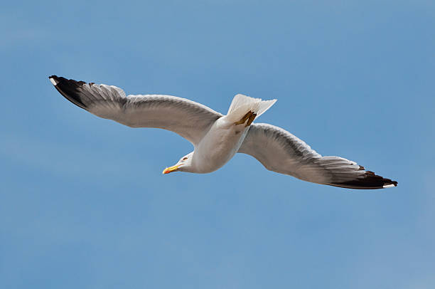 Yellow Legged Sea Gull Wall Art