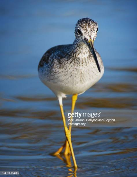Yellow Legs Walking in Blue Water at Fort Myers Beach, Florida