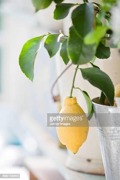 Yellow lemon hanging from twig