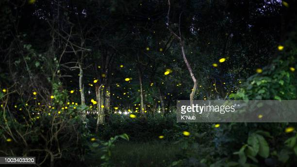 yellow light of firefly fly in nature forest at night after sunset time - glowworm stock pictures, royalty-free photos & images