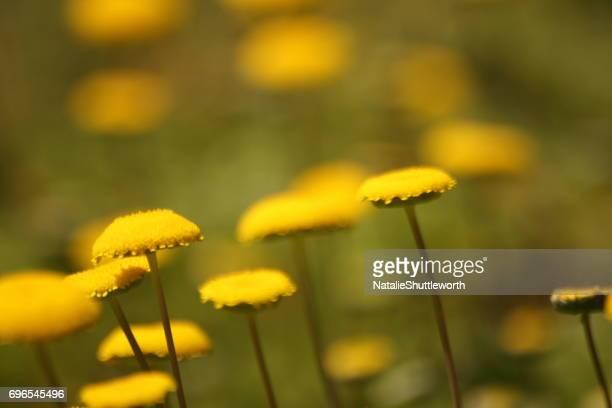 Yellow Lollipop Flowers