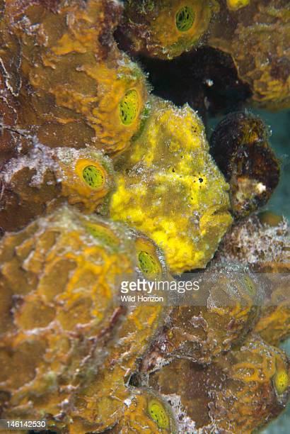 Yellow longlure frogfish camouflaged in sponges Curacao Netherlands Antilles