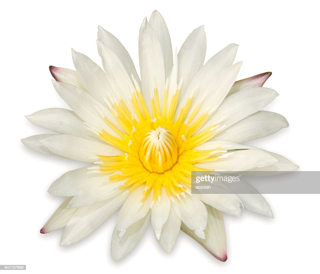 Yellow Lotus Flower Isolated On White Background Stock Photo Getty