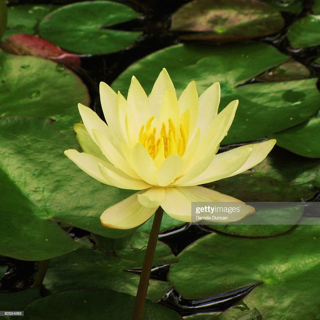 Yellow Lotus Flower Stock Photo Getty Images