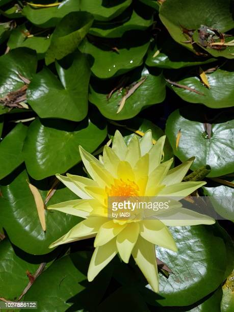 A yellow lotus waterlily and the leaves on the pound, vertical