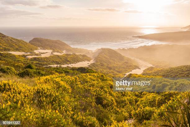 yellow lupines (lupinus luteus) on sand dunes, view of coast, sandfly bay, dunedin, otago region, otago peninsula, southland, new zealand - otago region stock pictures, royalty-free photos & images