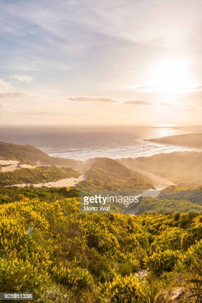yellow lupines (lupinus luteus) on sand dunes, view of coast, sandfly bay, dunedin, otago region, otago peninsula, southland, new zealand - dunedin new zealand stock pictures, royalty-free photos & images