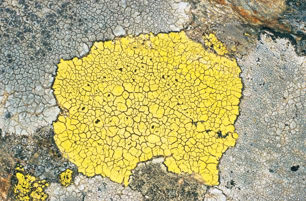 yellow map lichen rhizocarpon geographicum pictures getty images