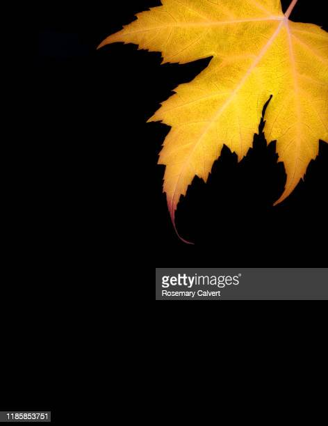 part autumnal yellow maple leaf black