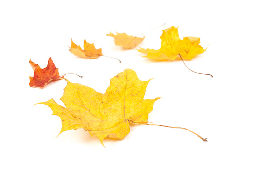 yellow maple leaf isolated on white background - gettyimageskorea